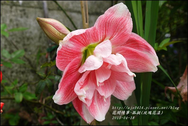 2015-05-孤挺(玫瑰花漾)1.jpg