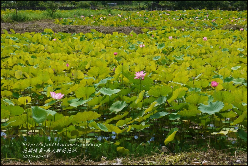 2015-06-馬太鞍荷花池8.jpg