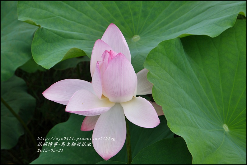 2015-06-馬太鞍荷花池22.jpg