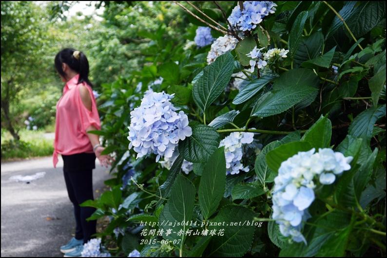 2015-06-赤柯山繡球花12.jpg