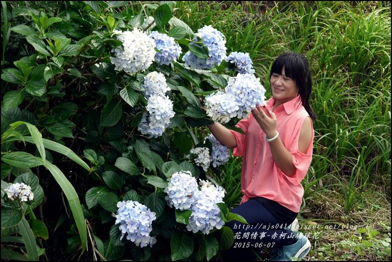 2015-06-赤柯山繡球花13.jpg
