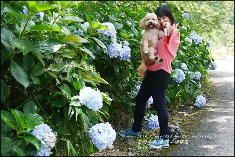 2015-06-赤柯山繡球花15.jpg