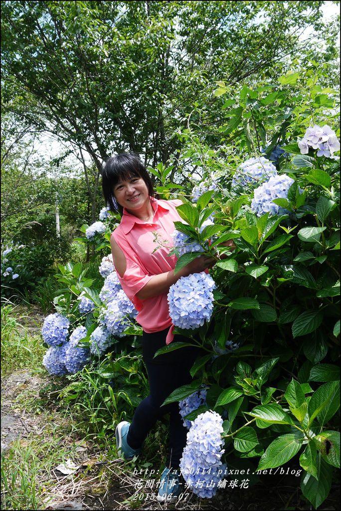 2015-06-赤柯山繡球花19.jpg