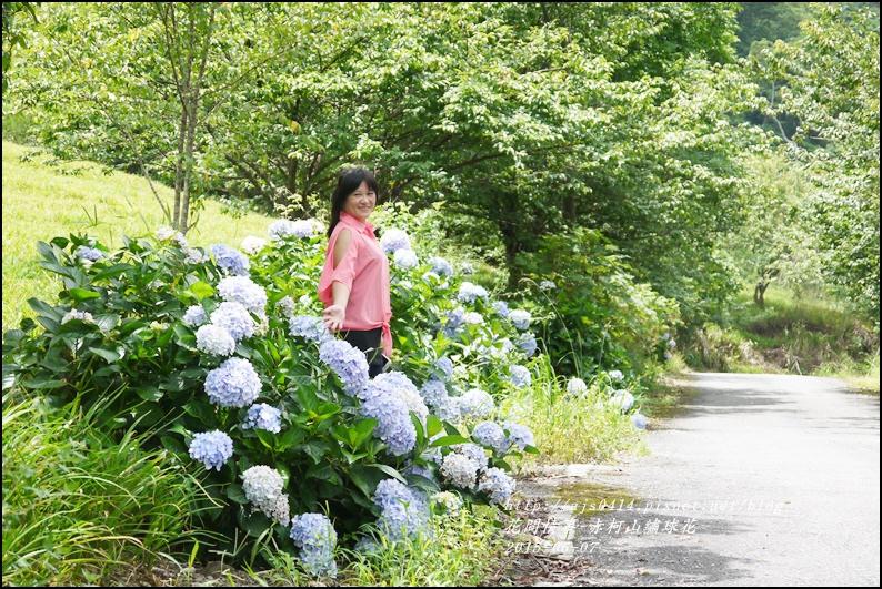 2015-06-赤柯山繡球花23.jpg
