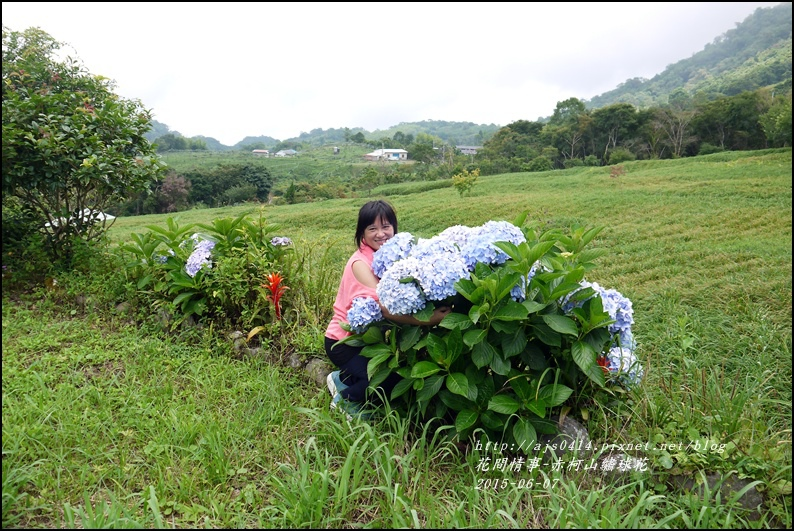 2015-06-赤柯山繡球花28.jpg