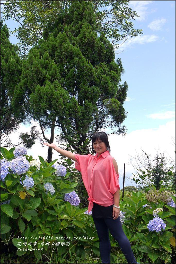 2015-06-赤柯山繡球花31.jpg