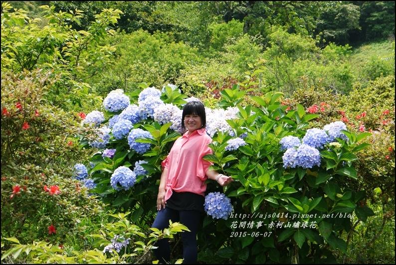 2015-06-赤柯山繡球花32.jpg