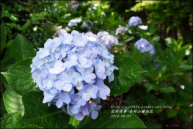2015-06-赤柯山繡球花35.jpg