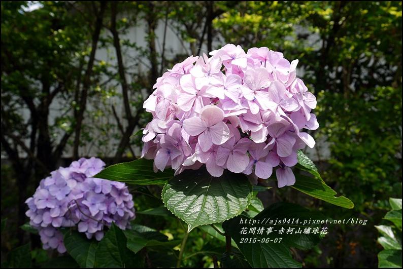 2015-06-赤柯山繡球花36.jpg