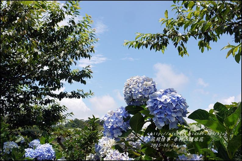 2015-06-赤柯山繡球花37.jpg
