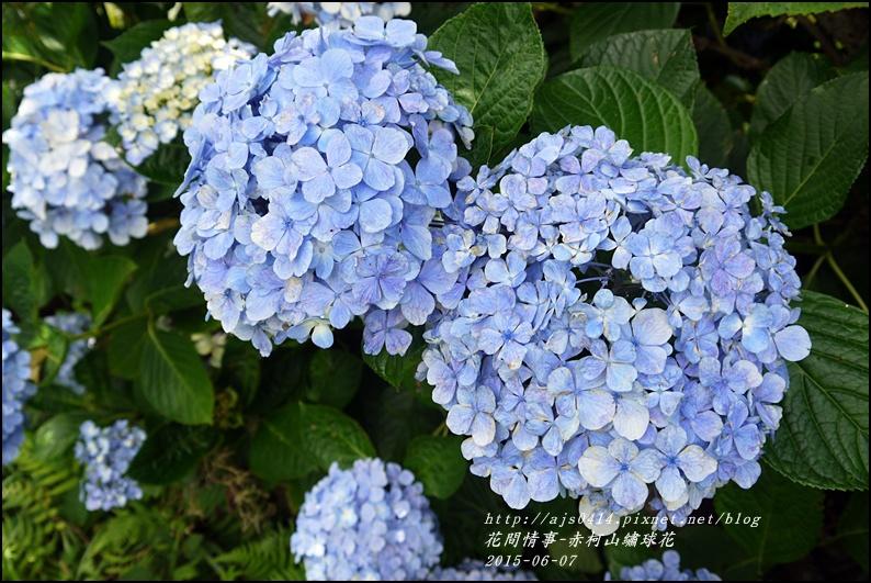 2015-06-赤柯山繡球花38.jpg
