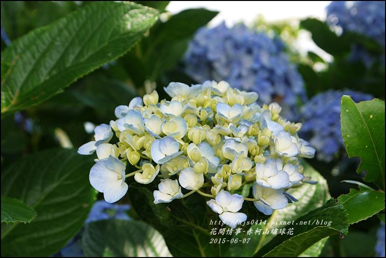 2015-06-赤柯山繡球花39.jpg