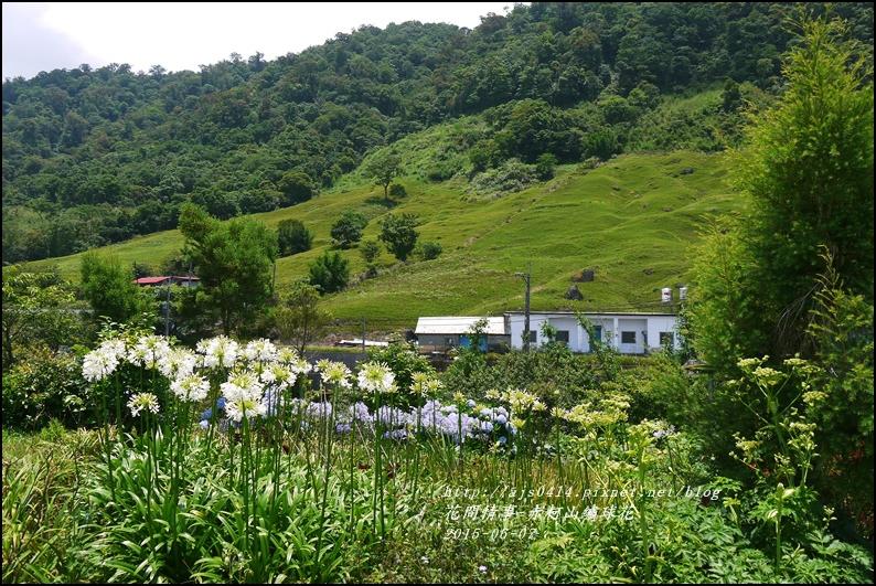 2015-06-赤柯山繡球花42.jpg