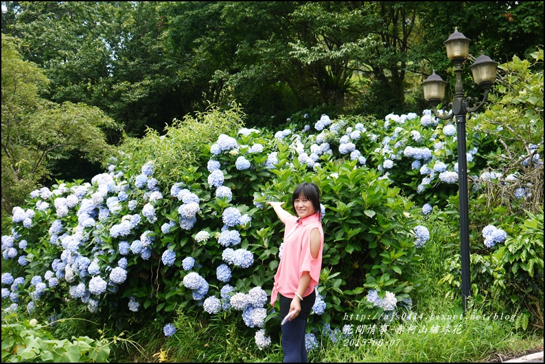 2015-06-赤柯山繡球花45.jpg