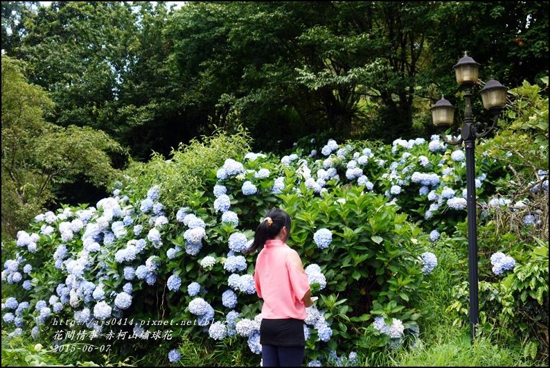 2015-06-赤柯山繡球花46.jpg