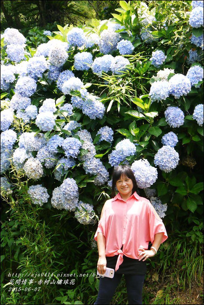 2015-06-赤柯山繡球花51.jpg