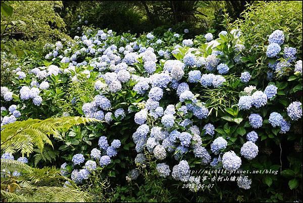2015-06-赤柯山繡球花53.jpg
