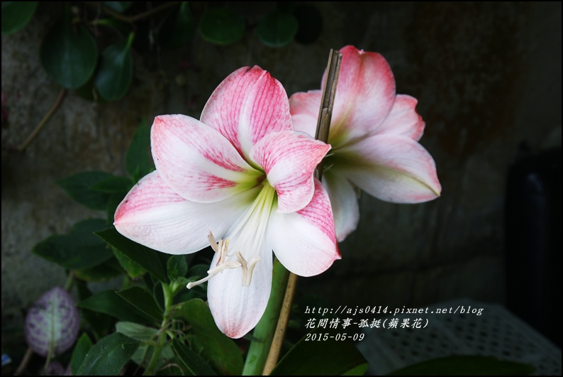 2015-06-孤挺(蘋果花)3.jpg
