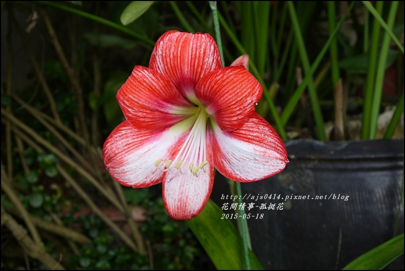 2015-06-孤挺花6.jpg
