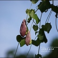 2015-06-煙斗藤14.jpg