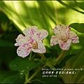2015-07-紫苿莉(煮飯花)12.jpg