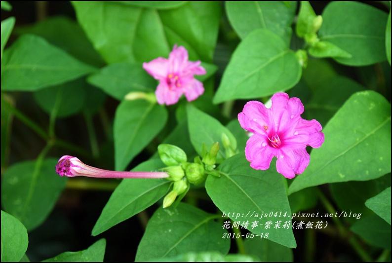 2015-07-紫苿莉(煮飯花)2.jpg