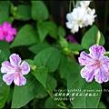 2015-07-紫苿莉(煮飯花)1.jpg
