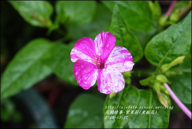 2015-07-紫苿莉(煮飯花)4.jpg