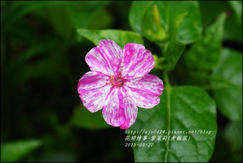 2015-07-紫苿莉(煮飯花)3.jpg