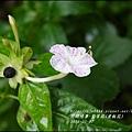 2015-07-紫苿莉(煮飯花)5.jpg
