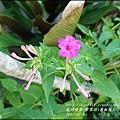 2015-07-紫苿莉(煮飯花)8.jpg