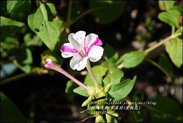 2015-07-紫苿莉(煮飯花)11.jpg