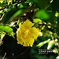 2015-07-重瓣黃蟬6.jpg
