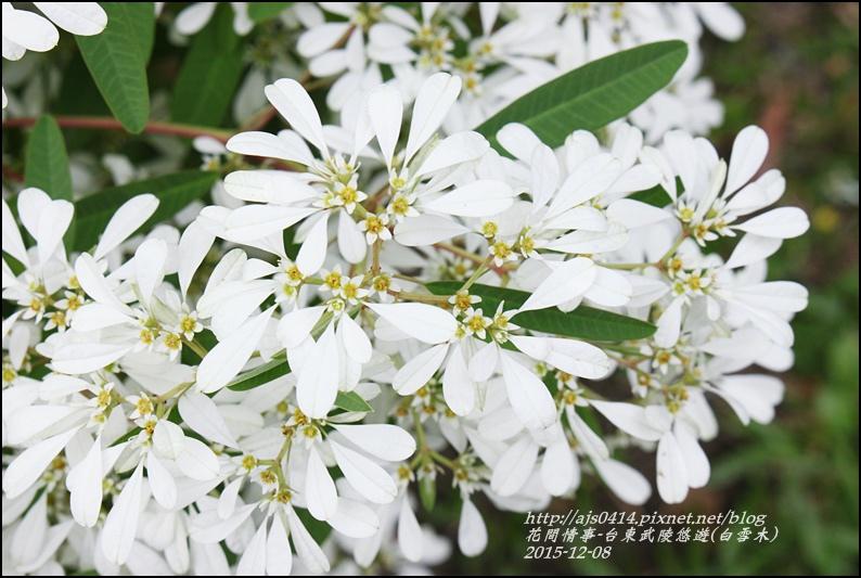 2015-12-白雪木(台東武陵悠遊)1.jpg