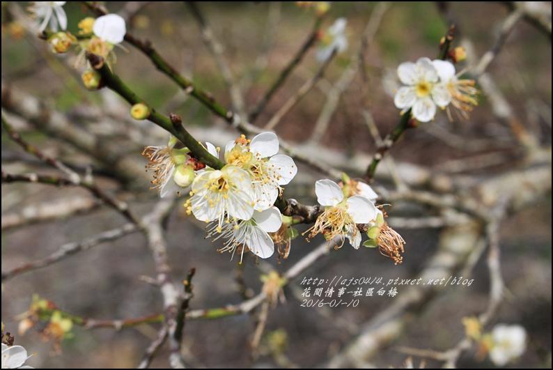 2016-01-社區梅花香18.jpg
