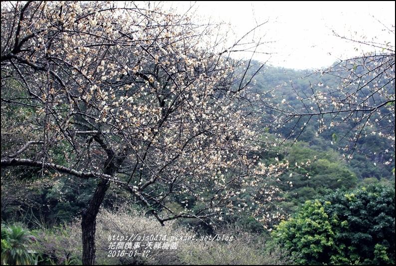 2016-01-天祥梅園4.jpg