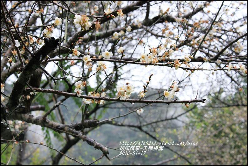 2016-01-天祥梅園9.jpg