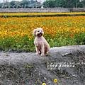 2016-02-黃波斯花海4.jpg