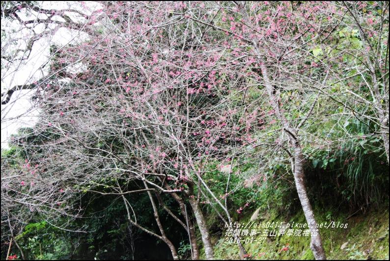 2016-01-玉山神學院櫻花2.jpg