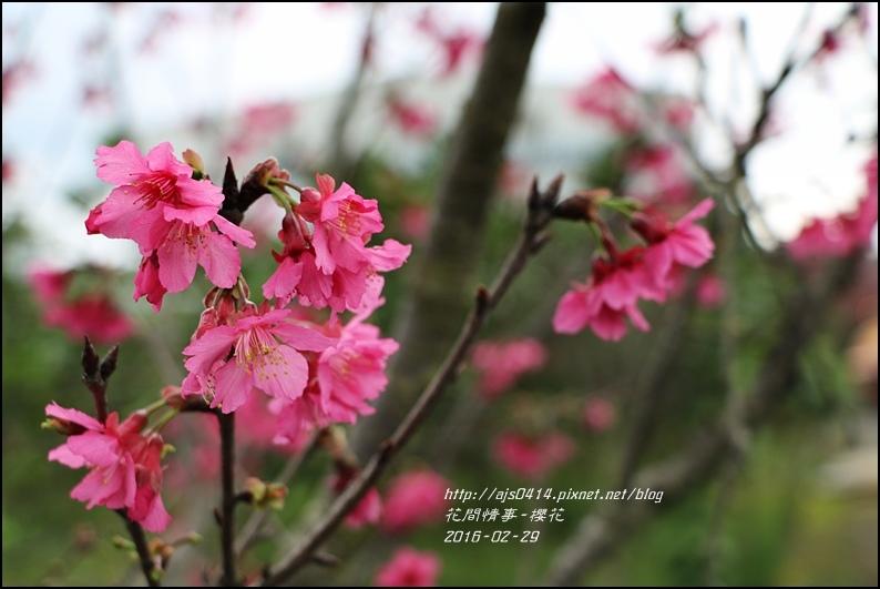 2016-02-路旁櫻花2.jpg
