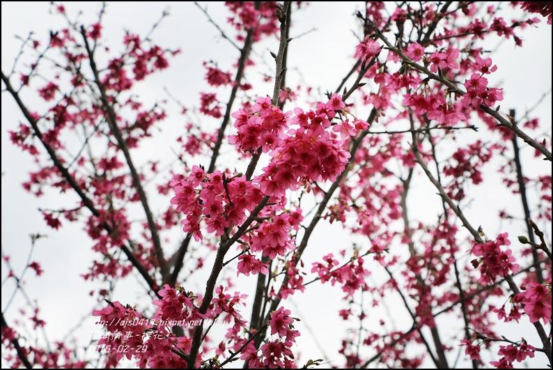 2016-02-路旁櫻花5.jpg