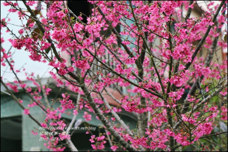 2016-02-路旁櫻花12.jpg
