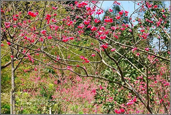 2016-03-玉山神學院八重櫻5.jpg