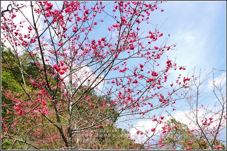 2016-03-玉山神學院八重櫻15.jpg