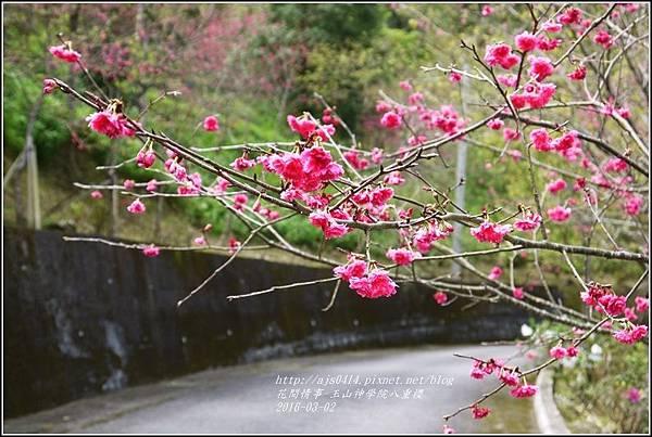 2016-03-玉山神學院八重櫻28.jpg