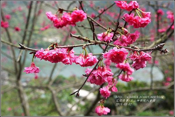 2016-03-玉山神學院八重櫻27.jpg