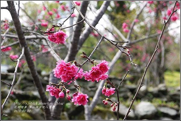 2016-03-玉山神學院八重櫻33.jpg