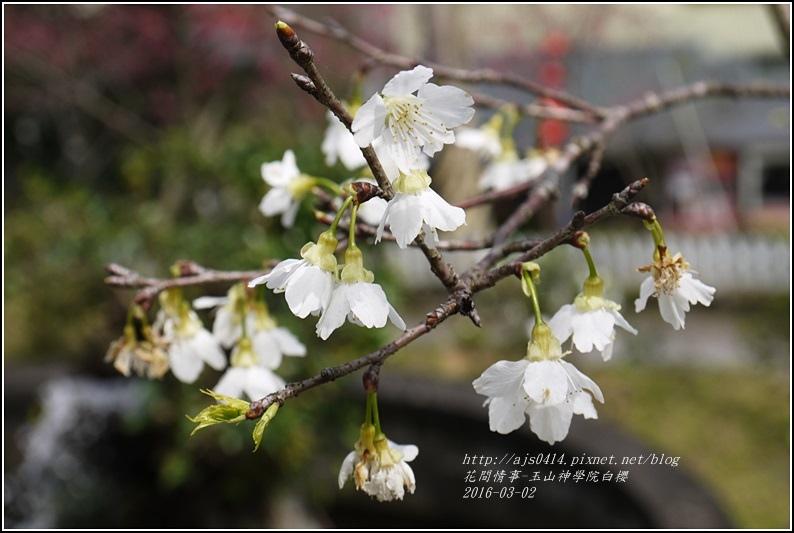 2016-03-玉山神學院白櫻4.jpg