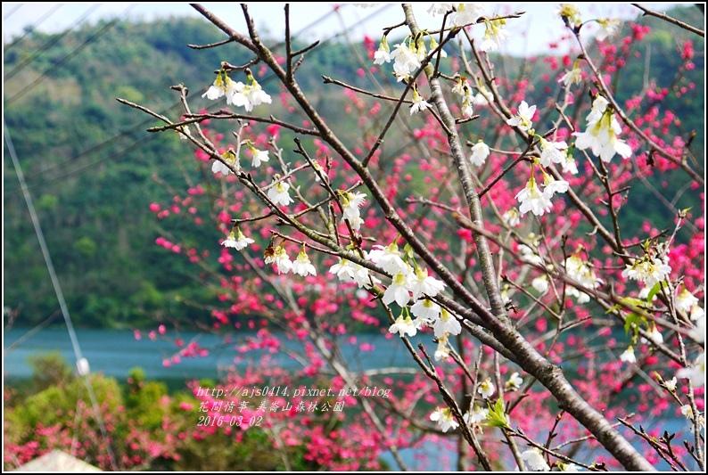 2016-03-玉山神學院白櫻3.jpg