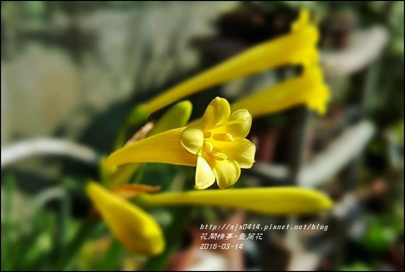 2016-03-垂筒花2.jpg
